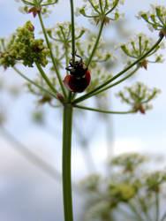 ladybug 2 by Chachiko