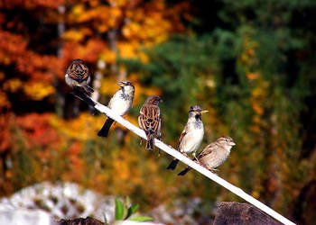 sparrows by Chachiko