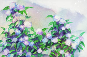 Watercolor: Hydrangea II by muttiy
