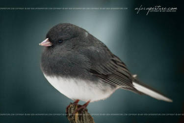Fat Snow Bird 7489 by AforAperture
