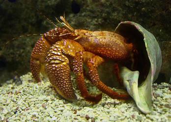 Big Hermit Crab by sapphiresphinx