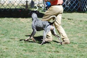 Bluetick Coonhound 11 by xxtgxxstock
