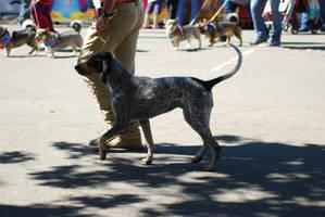 Bluetick Coonhound 15 by xxtgxxstock