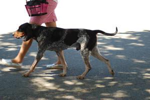 Bluetick Coonhound 16 by xxtgxxstock