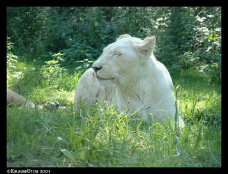 White Lioness by Kirauni