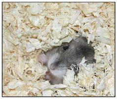 Hamster by daantje87