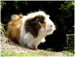 Guinea pig 4 by daantje87