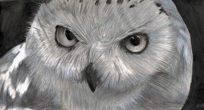 Snowy Owl by CommanderEVE