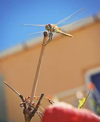 Dragonfly by cheyrek