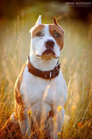 sunny pitbull by Zheltkevich