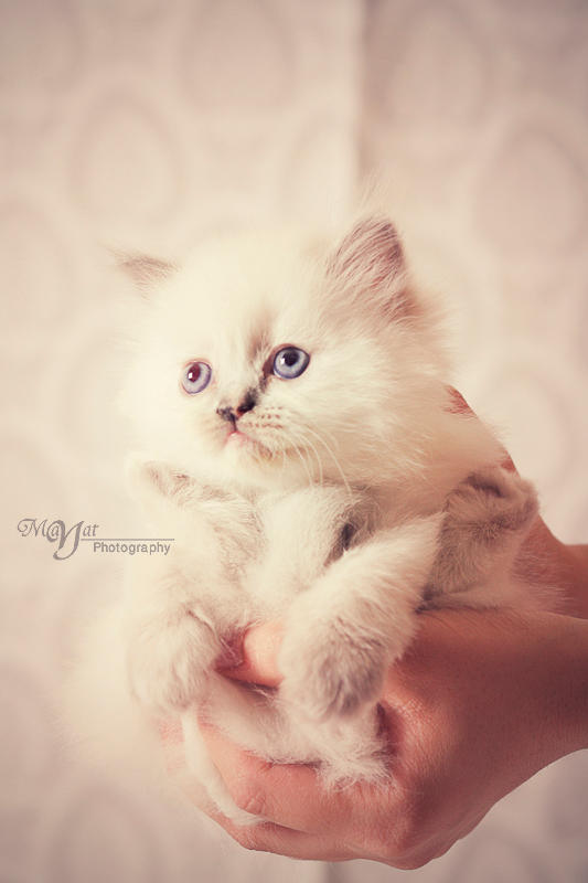 cute Kitten by mayat-s