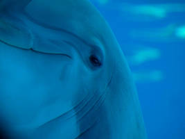 Dolphin by trencapins