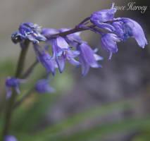 Violet by pinkygirls
