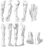 Anatomy study by Cielrune