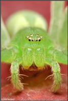 Micrommata virescens by Dark-Raptor