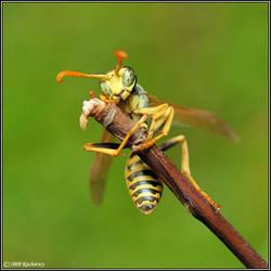 Wasp by Dark-Raptor