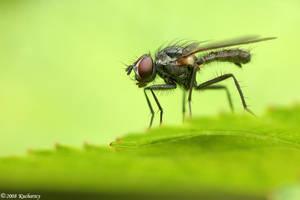 Thin fly by Dark-Raptor