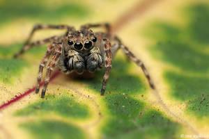 Jumping spider II by Dark-Raptor