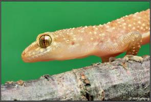 Gecko by Dark-Raptor