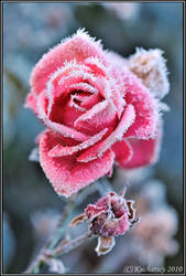 Frozen flower by Dark-Raptor