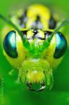 Rhogogaster viridis II by Dark-Raptor