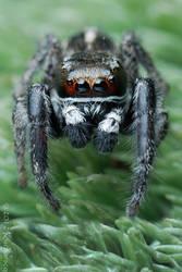 Pellenes tripunctatus by Dark-Raptor