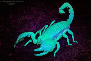 Pandinus cavimanus by Dark-Raptor