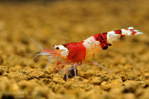 Colorful shrimp by Dark-Raptor