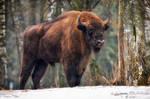 Bison in the snow by Dark-Raptor