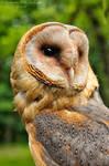 Barn owl by Dark-Raptor