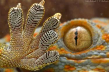 Gecko gecko by Dark-Raptor