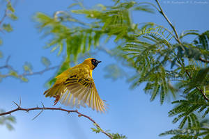 African masked weaver by Dark-Raptor