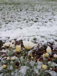 Icy Daisy by sammy-the-sam