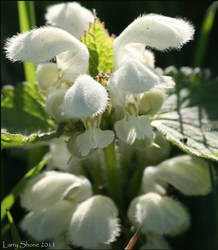 White Dead-nettle by Stumm47