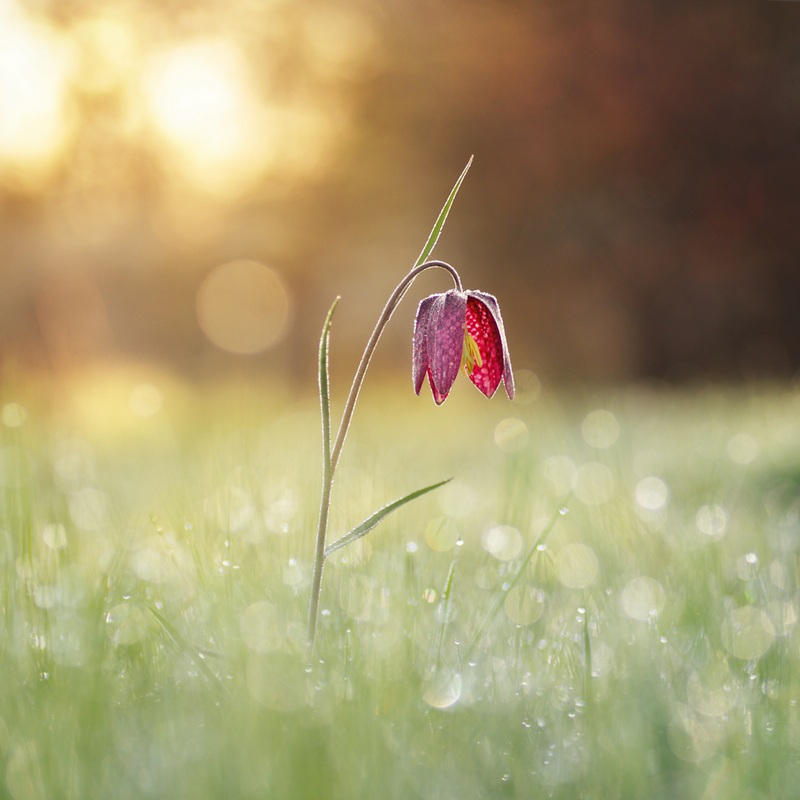 Fritilllaire by donlope01