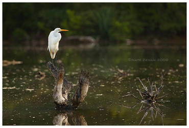 Great Egret by Nate-Zeman