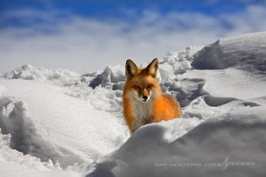 Fox Stare by Nate-Zeman