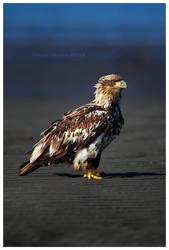 Juvenile Bald Eagle by Nate-Zeman