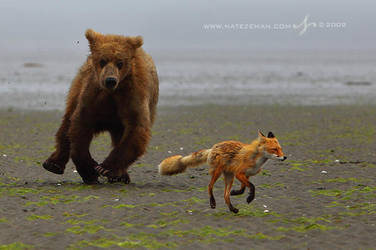 A Fox and A Bear: The Chase by Nate-Zeman