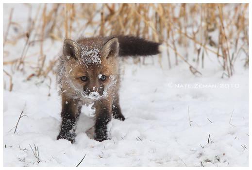 Fox's First Snow by Nate-Zeman