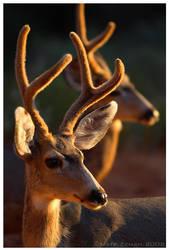 Desert Deer by Nate-Zeman