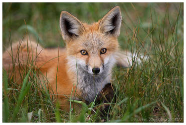 Little Red Fox by Nate-Zeman