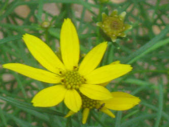 bright yellow Coreopsis by crazygardener