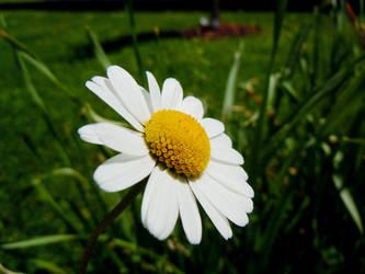 Daisy by Windyme