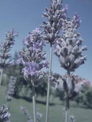 Lavender by Windyme