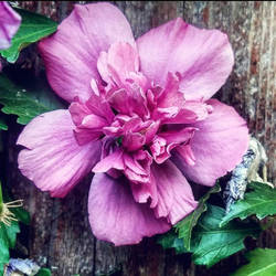 flower in family friend's fence  by allydee92