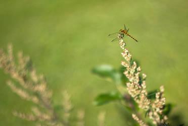 Dragonfly by Verokomo