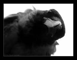 crow by wahwah