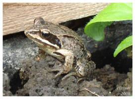 Froggy by Hardia-999