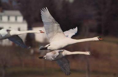 swan ref1 by RMBDarkmyth